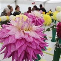 Harrogate Flower Show 2019