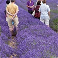 Kent Lavender and Tonbridge
